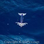 Kallamari Fluturues