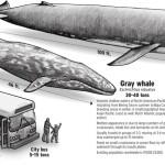 Madhesia e balenes se kalter