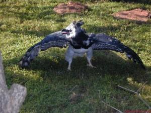 Shqiponja harpy