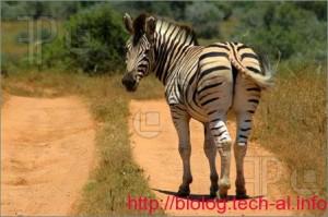 Migrimi zebrave