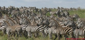 migrimi zebrave 2