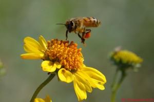 biopedia.al nje blet duke mbledhur nektare