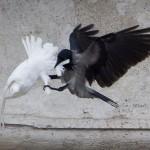 Sulmohen pellumbat e paqes te leshuar nga Vatikani