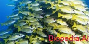 Te mesojme nga tufa e disiplinuar e peshqve
